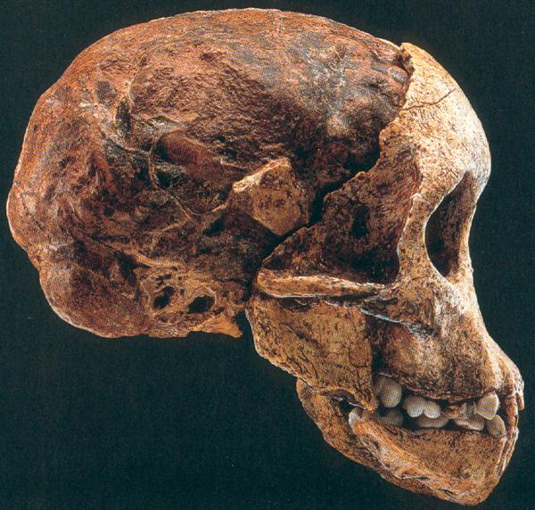 Australopithecus Africanus - the Taung child