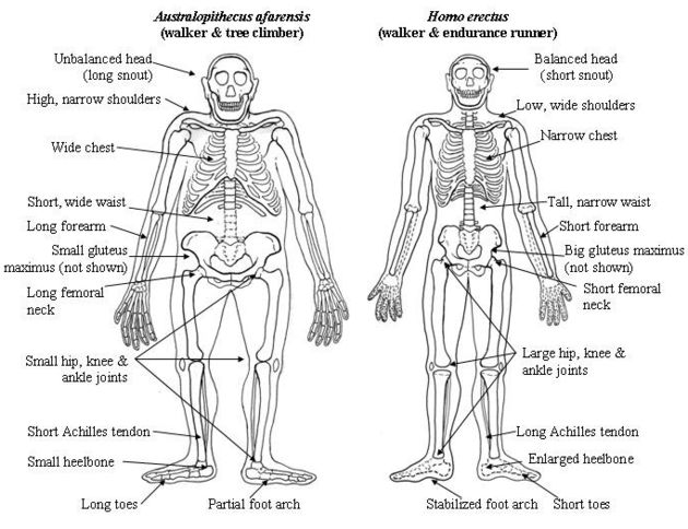 comparison between apes and humans